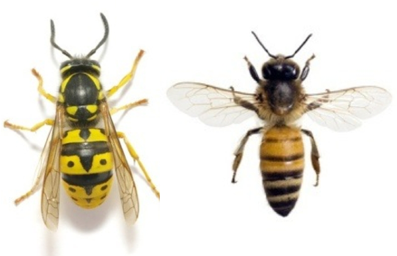 Wasp and Honey Bee