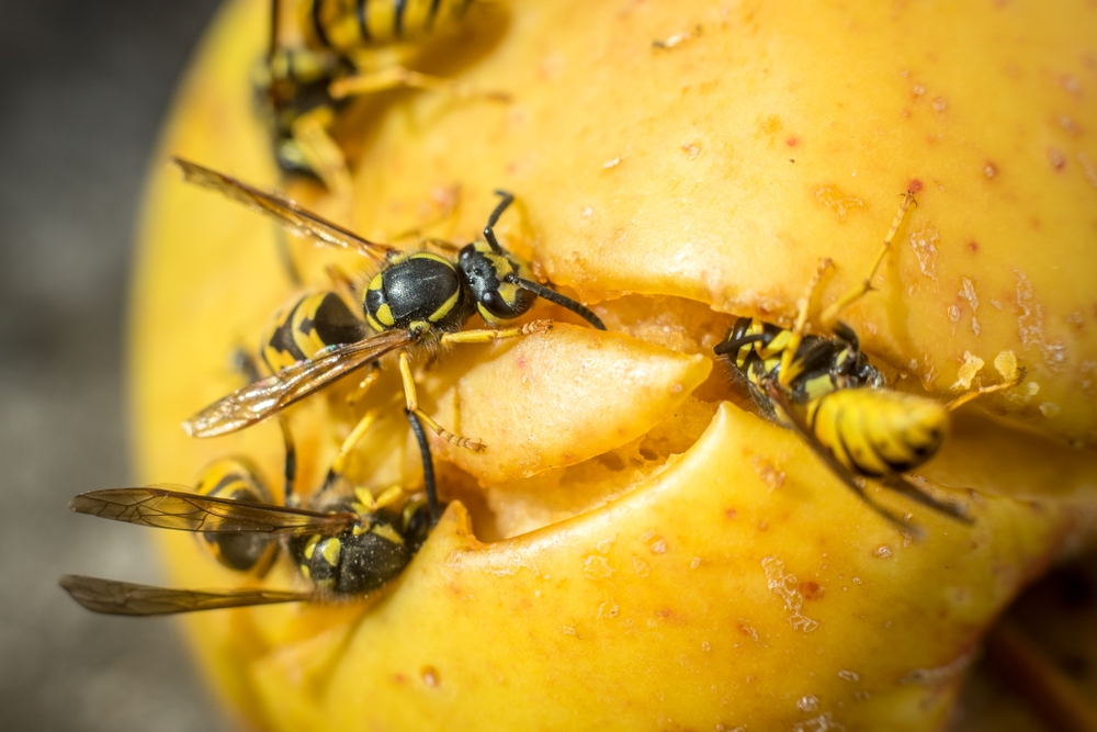 Wasps Feeding On Fallen Apple